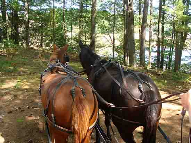Pair Horses carriage woods trail