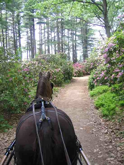 Harness horse carriage, beautiful spring foliage in Auburn, NH
